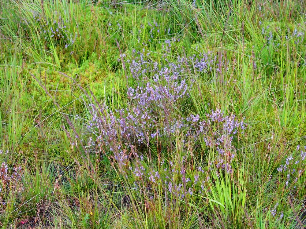 Heidekraut & Moose im Moor