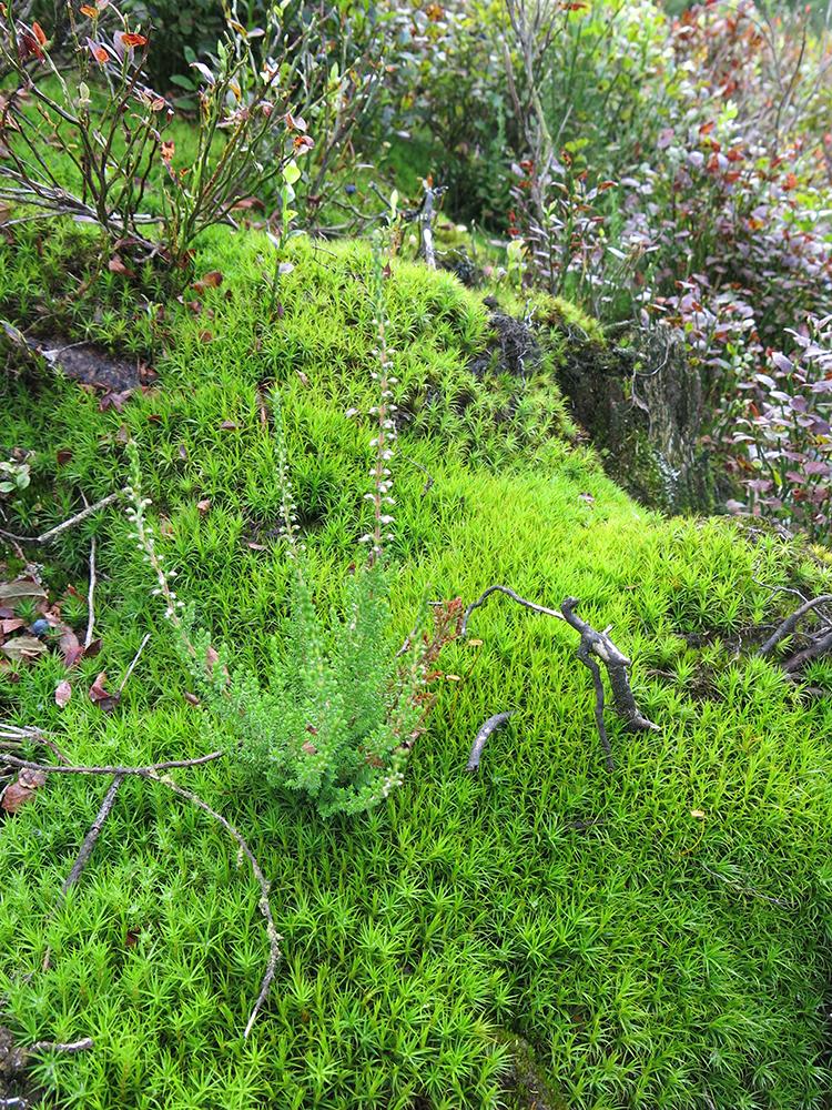 Moos und Heidelbeeren im Hohen Venn